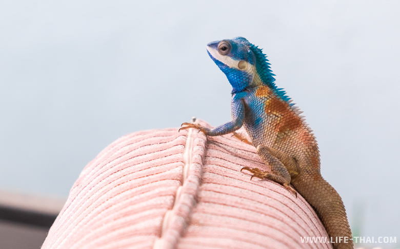 Ящеры, оказывается, меняют цвет, когда собираются размножаться