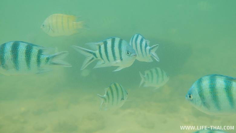 Сноркелинг на ко Самеде - очень много полосатых рыбок