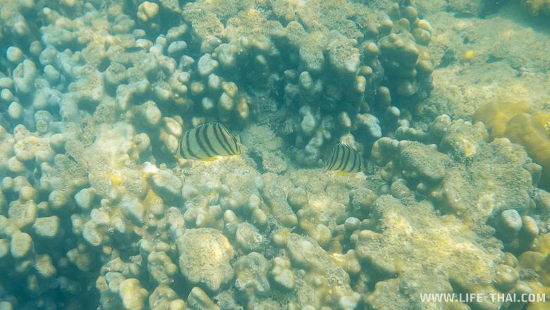 Сноркелинг на ко Самеде - рыбки и живые кораллы