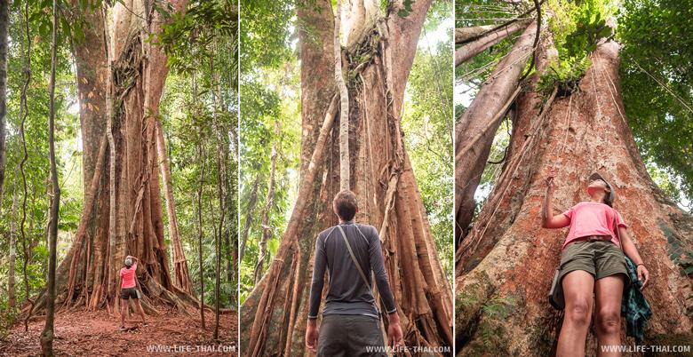 500-летнее дерево - достопримечательность ко Куда