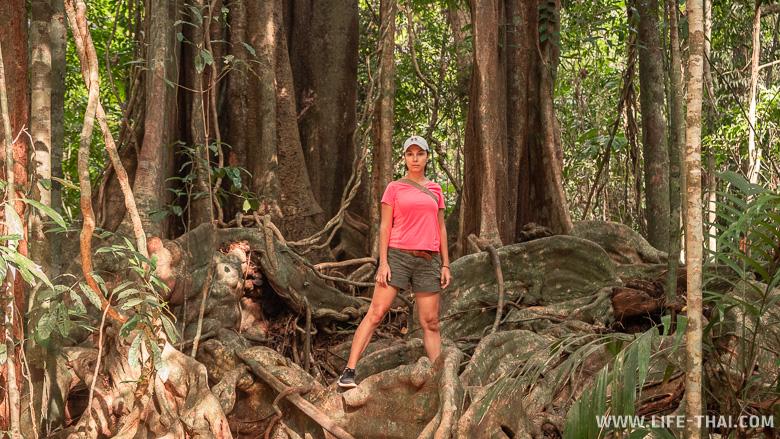 Огромное шагающее дерево Big Chai Tree на ко Куде