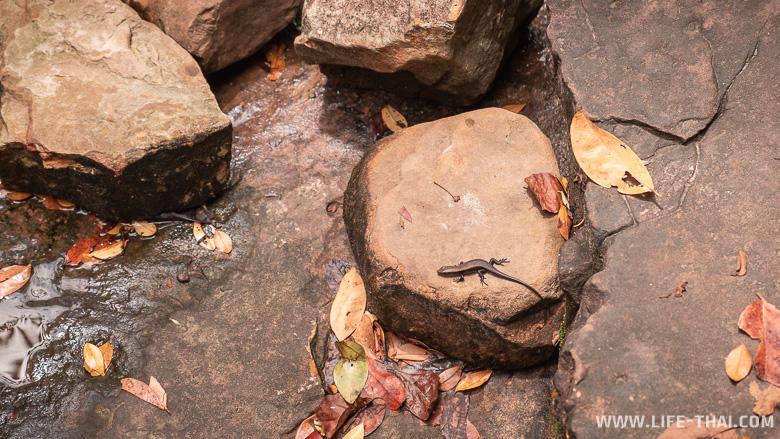 Ящерица на водопаде Klong Chao на ко Куде