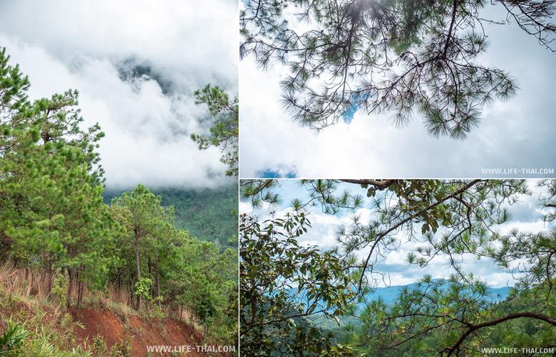 Сосны в нац. парке Чианг Дао