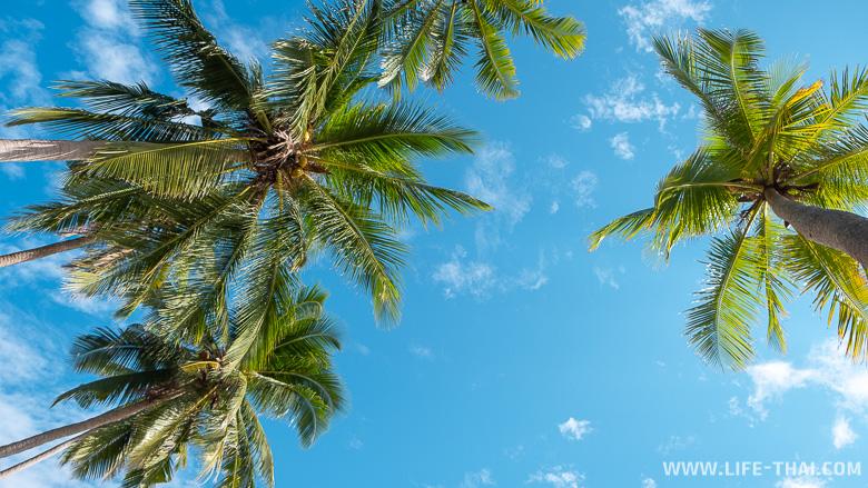 Кокосове пальмы на ко Куде