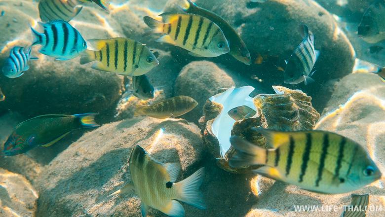 Талосома - рыбы Сиамского залива