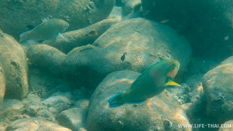 Рыба-попугай в Таиланде