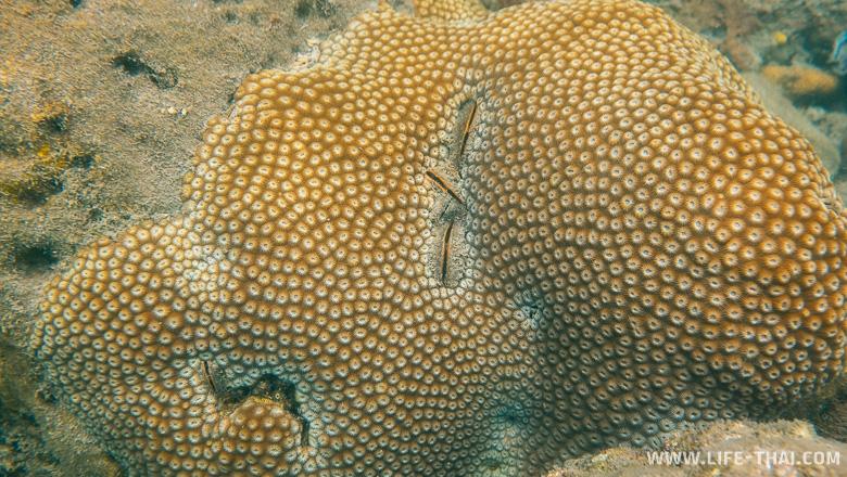 Звездообразный коралл в Сиамском заливе