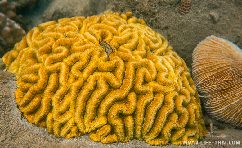 Коралл мозговик в Сиамском заливе