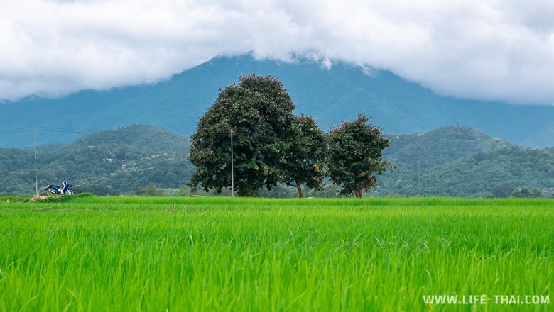 Рисовые поля за Пхаяо - ещё одна достопримечательность города