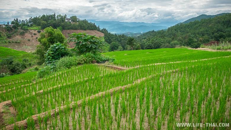 Рисовые террасы на склонах горы Дой Интанон, Чиангмай
