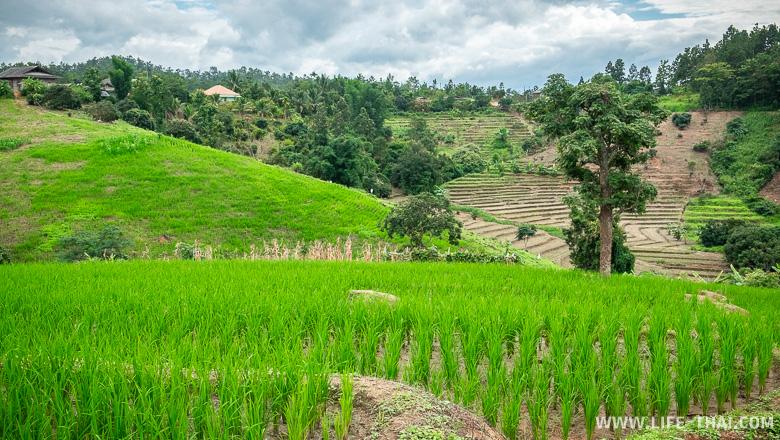 В начале августа рис только посадили, самая красота будет в конце августа - начале сентября