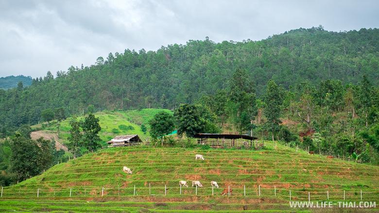 Тайские коровы пасутся на рисовых полях