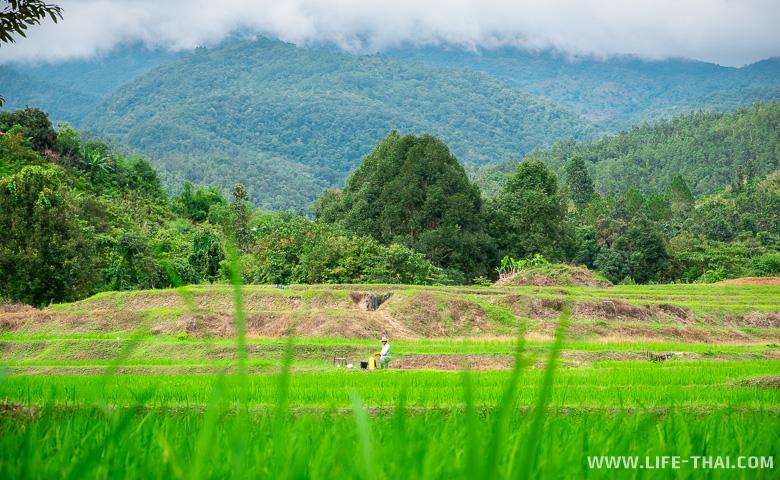 Тайский фермер на рисовых полях