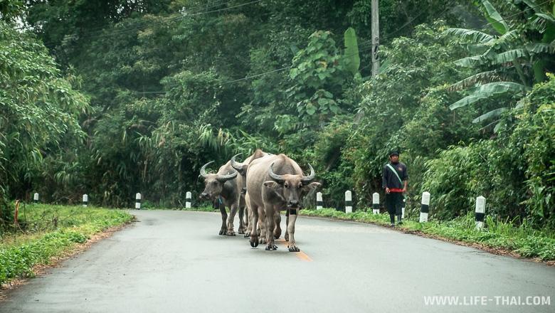 Препятствие на дороге - таец гонит буйволов домой