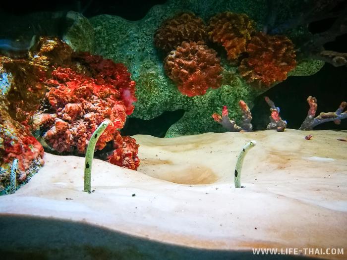 Гетероконгеровые угри в аквариуме, Чиангмай, Таиланд