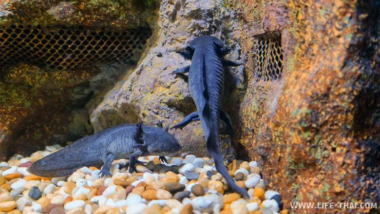 Аксолотль в аквариуме Чиангмая, Таиланд