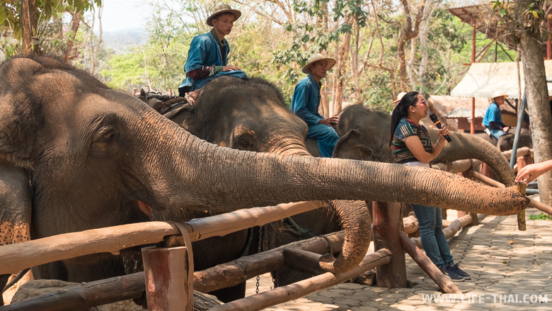 Кормление слонов в Таиланде