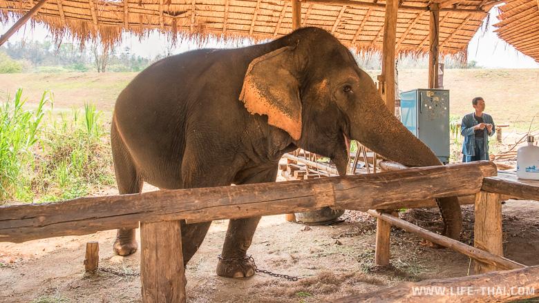 Слон, прикованный цепями в Таиланде