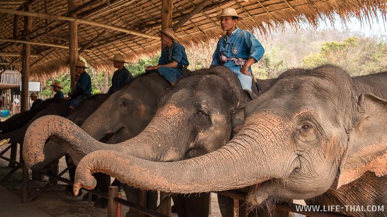 Кормление слонов в Центре сохранения слонов Таиланда