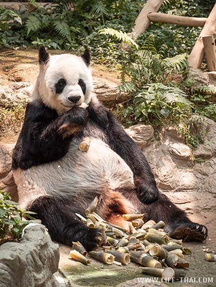 Панда в Таиланде