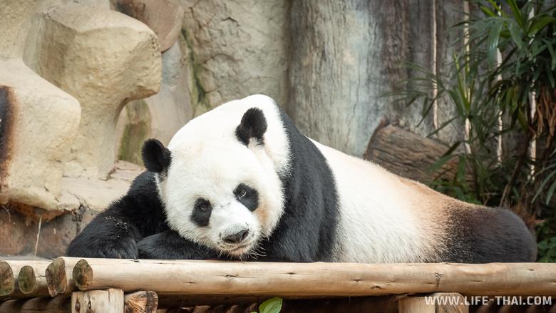 Спящая панда в Чиангмае
