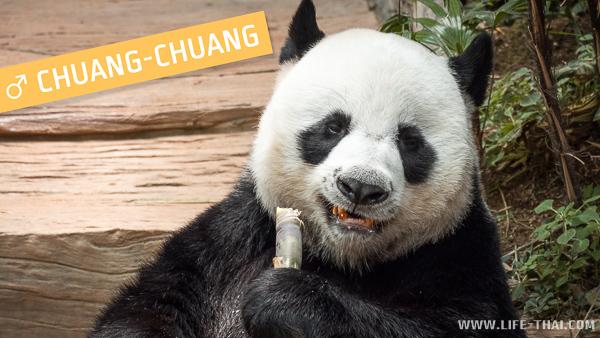 Панда Chuang-Chuang в зоопарке Чиангмая, Таиланд