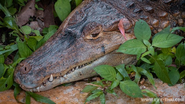 Крокодил притаился в траве