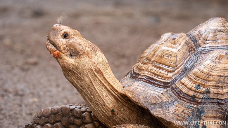 Черепаха с бабочкой на нос в зоопарке Чиангмая