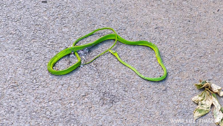 Раздавленная змея на дороге в Чианг дао