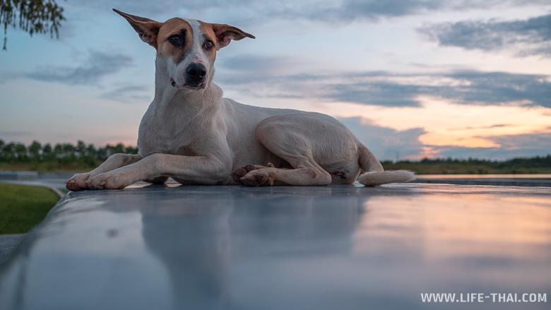 Собака на закате в Таиланде