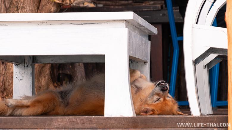 Тайская собака спит вверх лапами