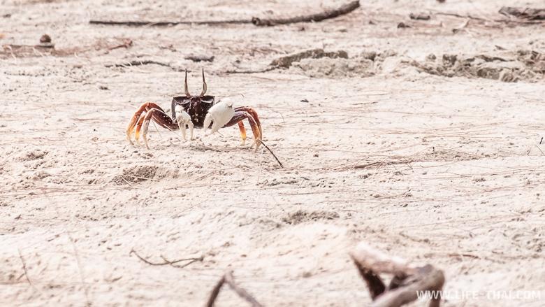 Крабы на одном из пляжей Транга