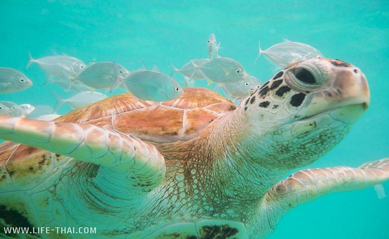 Морская черепаха на Маврикии