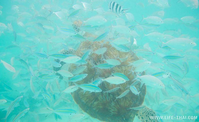 Черепаха в водах Индийского океана