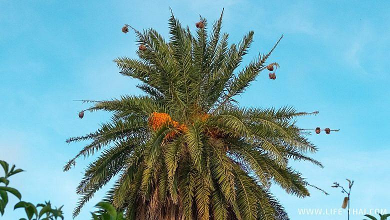 Гнёзда птиц на пальме