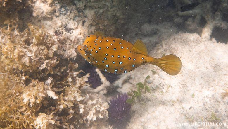 Ядовитая камень-рыба на Маврикии