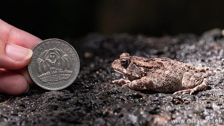 Маленькая жаба на Маврикии