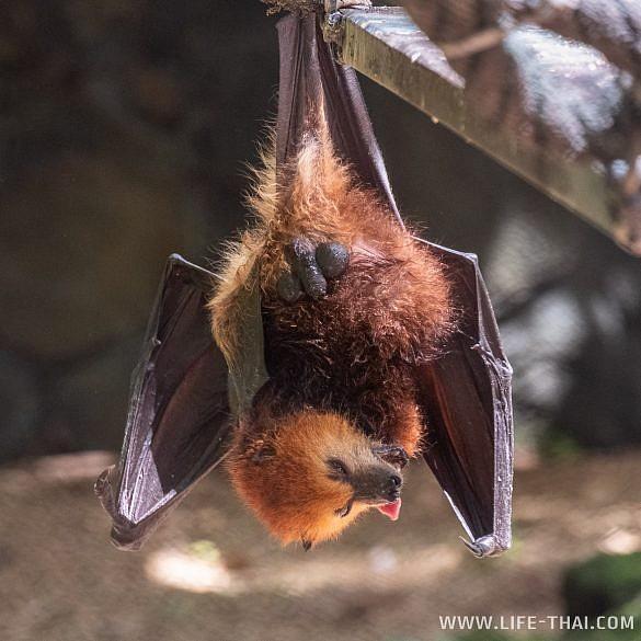 Фруктовые лисицы на Маврикии