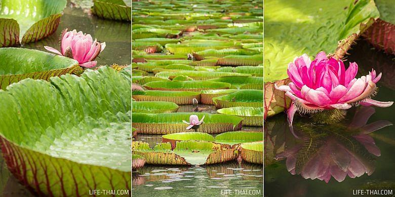 Гигантские водные лилии на Маврикии