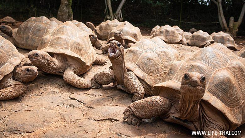 Сейшельские черепахи на Маврикии