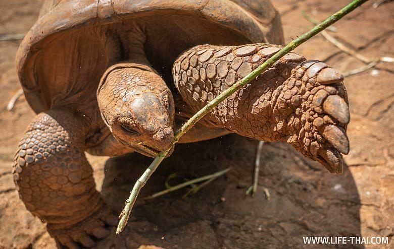 Кормление черепах в парке La Vanille, Маврикий