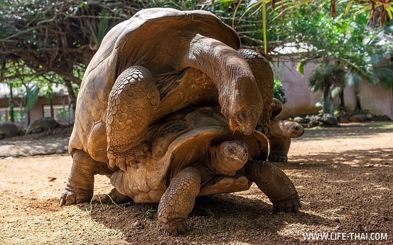 Черепахи спариваются на Маврикии