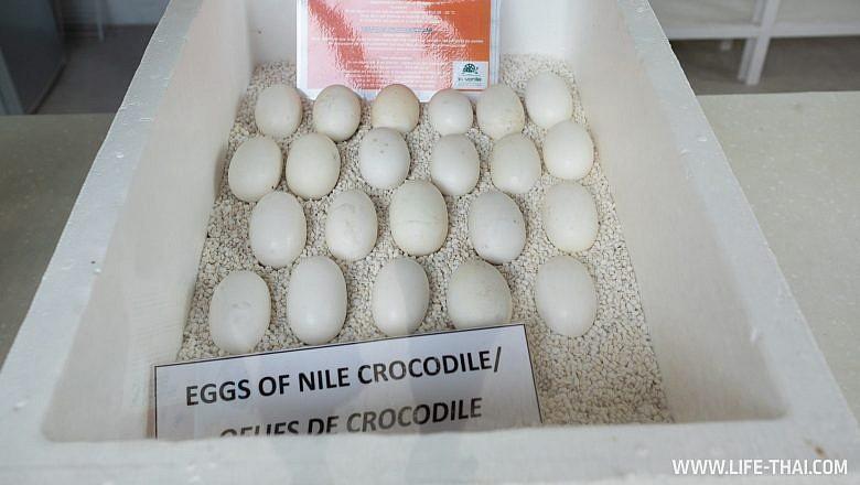 Где посмотреть крокодилов на Маврикии