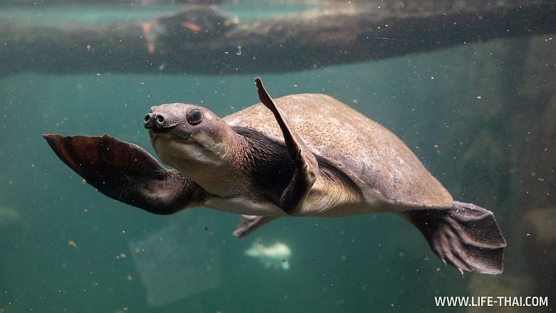 Водная черепаха в La Vanille