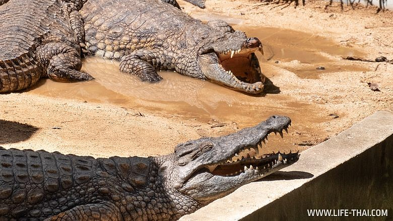 Мадагаскарские крокодилы на Маврикии