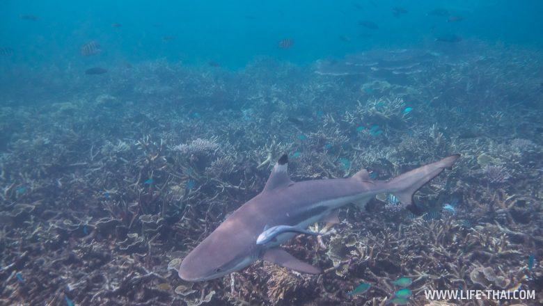 Акулы в Малайзии