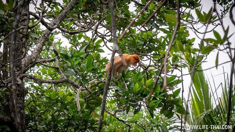 Где посмотреть пробоскисов в Брунее