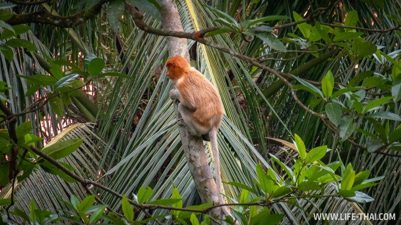 Обезьяны-носачи в Бурнее