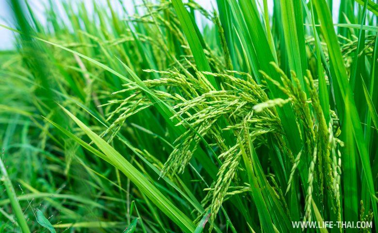 Рисовые поля около Куала Лумпура
