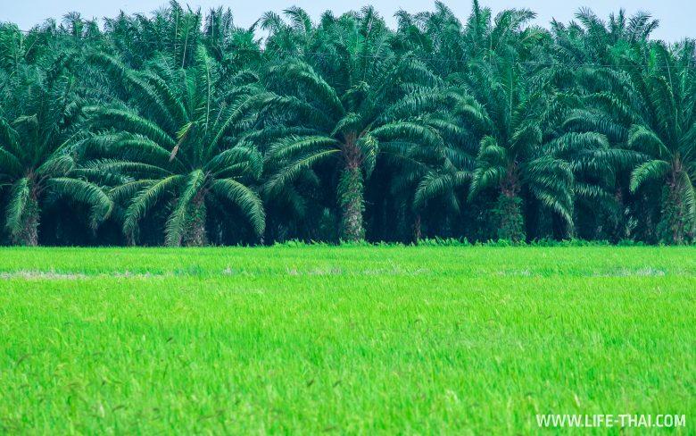 Рисовые поля рядом с Куала Лумпуром, Малайзия